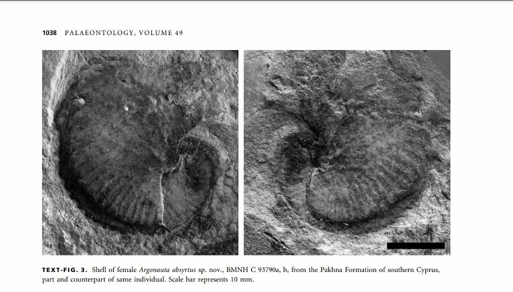 Fossile d\'Argonauta absyrtus trouvé à Chypre - David M. Martill and Michael J. Barker in Paleontology (2006)