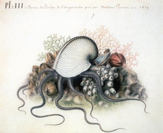 L'Argonauta argo sur une aquarelle de la main de Jeanne Villepreux-Power réalisée en 1839 d'après les spécimens qu'elle étudiait en Sicile.