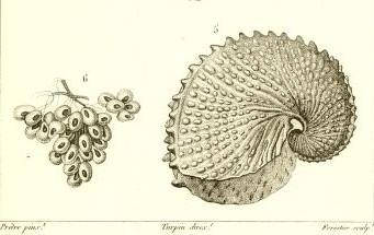 Œufs et nacelle d'Argonata nodosa in H.-M. D. de Blainville Manuel de malacologie et de conchyliologie Paris 1827 pl. XLVII via BHL. www.idscaro.net.