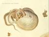 Giuseppe Jatta - I Cefalopodi viventi nel Golfo di Napoli (sistematica), Art by Comingio Merculiano, R. Friedländer & Sohn, 1896
