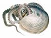 """Giuseppe Jatta - Argonaute - extrait de \""""Céphalopodes vivants dans le golfe de Naples (systématique)\"""" (1896)"""