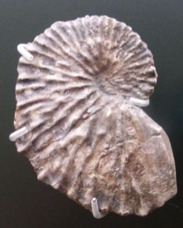 Fossile d\'Argonauta argo trouvé en Autriche - Joanneus Wetzelsdorf© Wolfgang Danninger (1915)