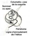 Spirale d'enroulement de l'hélice d'un gastéropode