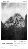 Sophora arboretum de Grignon - 1889