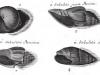 Lister Exemple-de-fossiles-du-Lutetien-du-bassin-de-Paris-figures-par-les-soeurs-Lister-en