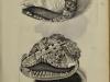 lisner rhombis dentalis1