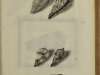 lisner rhombis fasciatis