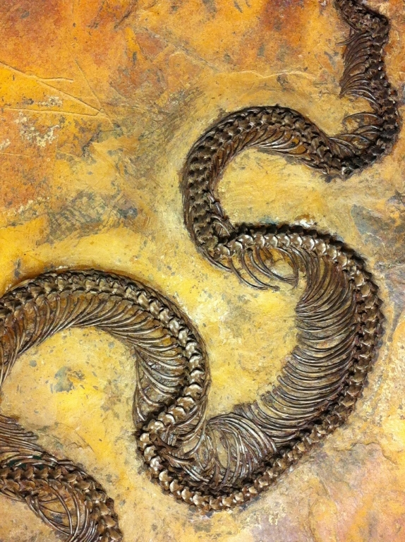 messel 2013 - Palaeopython - Photo jacques Dillon