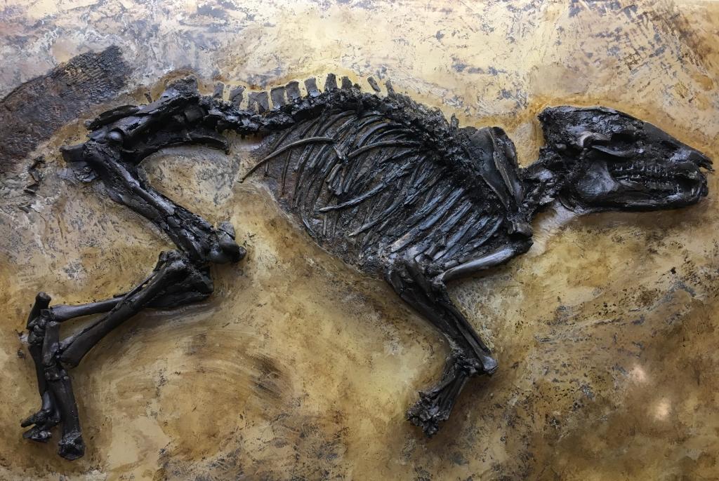 Propaleotherium hassiacum - petit cheval primitif