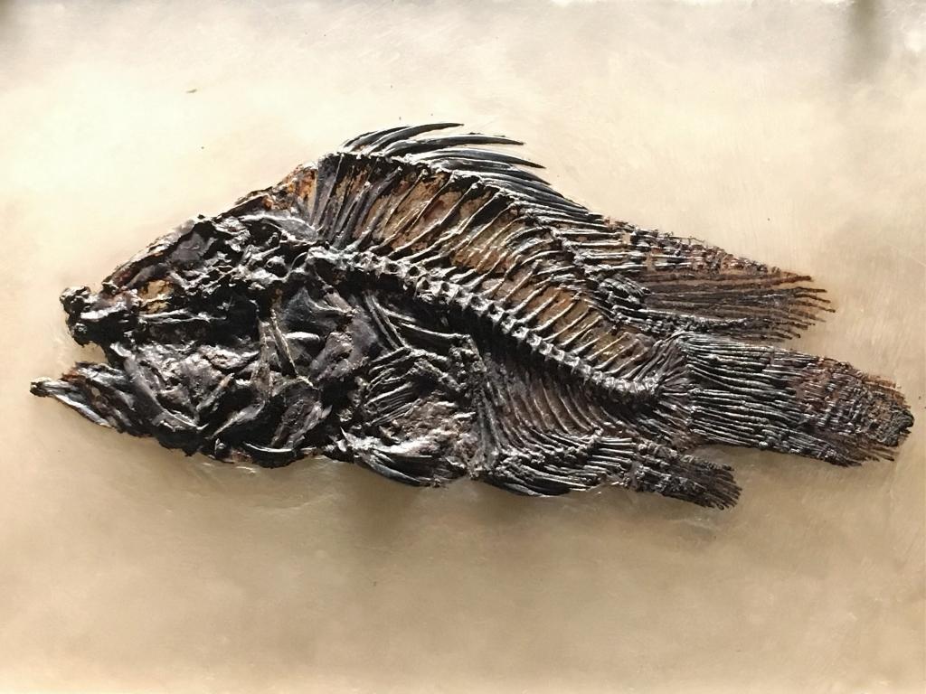 Amphiperca multiformis - Genre de Perche