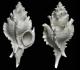 172-002 Typhina rutoti 27mm Chaussy - très fréquente et à tous âges. Forme ventrue, courte. côtes épaisses, épines situées à la partie supérieure des côtes.