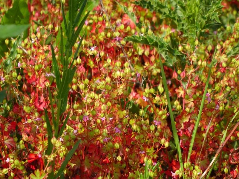Petit géranium ou Herbe à Robert