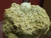 Coelopleurus radiatus - Calcaire grossier - Recquiecourt