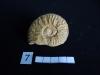 Ammonites 7 : Graphoceras rudis - Aalénien sup.