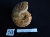 Ammonites 10  : Leioceras gr. comptum - Aalénien inf.