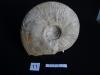 Ammonites 11 : Bredya aleoni - Aalénien inf.