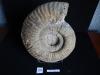 Ammonites 20 : Hammatoceras gr.insigne - Toarcien sup.