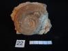 Ammonites 22 : Hildoceras bifrons - Toarcien moy à inf.