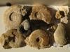 Récolte de Jacques: Ammonites et nautile à identifier. Photo Jacques Dillon