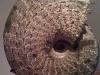 Ammonite Placenticeras - USA