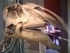Dinausore Prosaurolophus  maximus 2- crétacé USA