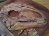 Dinosaure Tenontosaure 2- jurassique USA