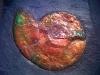 ammonite Sphenodiscus sp-  crétacé  - canada