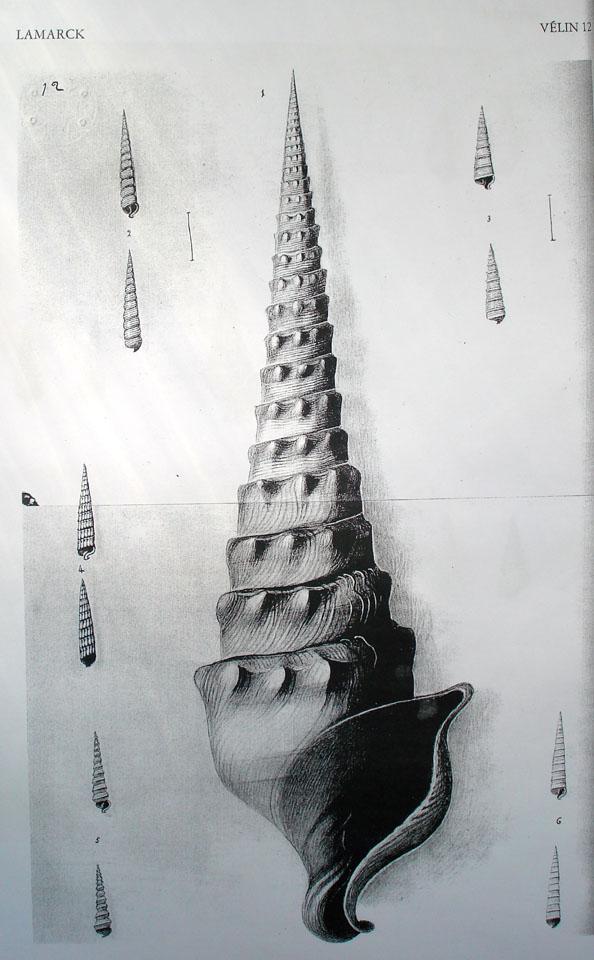 cerithium giganteum - velin de Lamarck