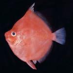 Antigonia Capros ( fishbase.org)