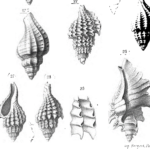  Description des animaux sans vertèbres découverts dans le bassin de Paris T2 Atlas (mollusques Céphalés, mollusques Céphalopodes), édition 1866. Extrait pl. 87