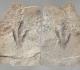 Empreinte et contre-empreinte de dinosaure Grallator - Aveyron Sauclières