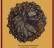 goniopygus-menardiradioles-ile-madame-1-891x1024