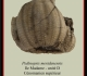 pedinopsis-meridanensis-b-893x1024