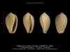 GA208bis-1 Gibberula ovulata ovulata -5plis