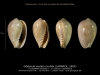 GA208bis-1 Gibberula ovulata ovulata -6 plis