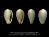 GA208bis-1' Gibberula ovulata polyptycta