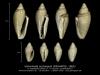 GA208-10 Volvarinella acutangula