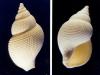 Metula subdecussata- Photos Didier Kauffmann et Maryse Le Gal