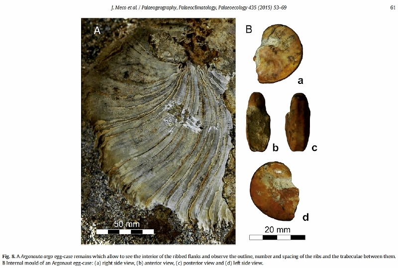 Fossile d'Argonauta argo trouvé dans les Canaries. Joaquin Meco, Anthony A. P. Koppers - The Canary Record of the Evolution of the North Atlantic Pliocene in ResearchGate (June 2015)