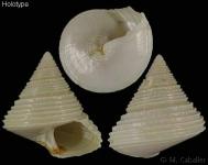 Calliostoma cochlias - crédit photo Manuel Caballer, Mnhn