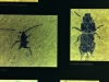 messel 2013 - Insectes - Photo jacques Dillon